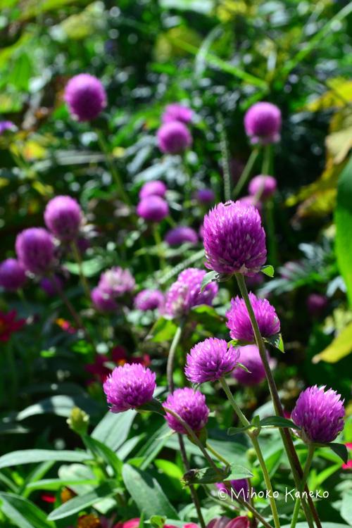 千日紅(せんにちこう)は、生花の状態でもカサカサとした触感なので、簡単にドライフラワーになります。花の時期は、初夏から秋深くまでと、長時間咲く花です。