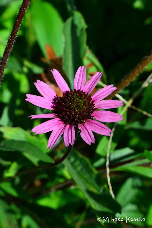 初夏から秋まで長く咲く宿根草、エキナセア。花の咲き始めは、中心が平面的な形をしていますが、花びらが散り始めるころには、中心がぷっくりと膨れてきます。花びらがついている時点でもドライフラワーにできますが、花が終わった後の中心が膨らんで実のような状態になった時が、ドライフラワーにするのに最適です。