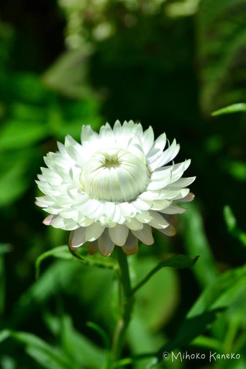 生花の時点で、カサカサとした触り心地の帝王貝細工。6月から10月くらいまでの開花の1年草です。色彩が鮮やかでドライフラワーに最適です。