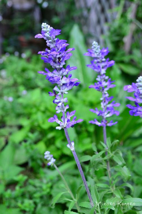 初夏から秋深くまで咲く開花期間の長いブルーサルビアは、ドライフラワーにすることもできます。