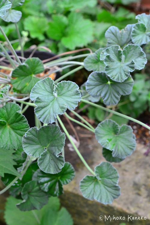 ペラルゴニウム・シドイデス。シルバーグリーン色が、秋のシックな色合わせに引き立つ色です。