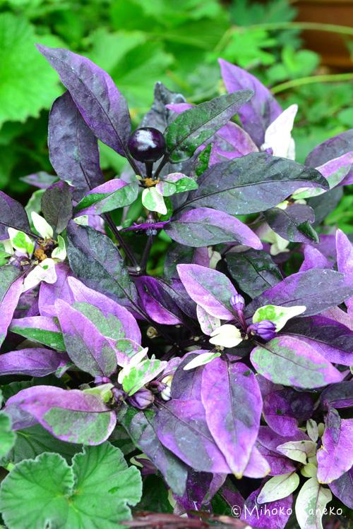 葉っぱの色が紫色~グリーン色の観賞用トウガラシ。