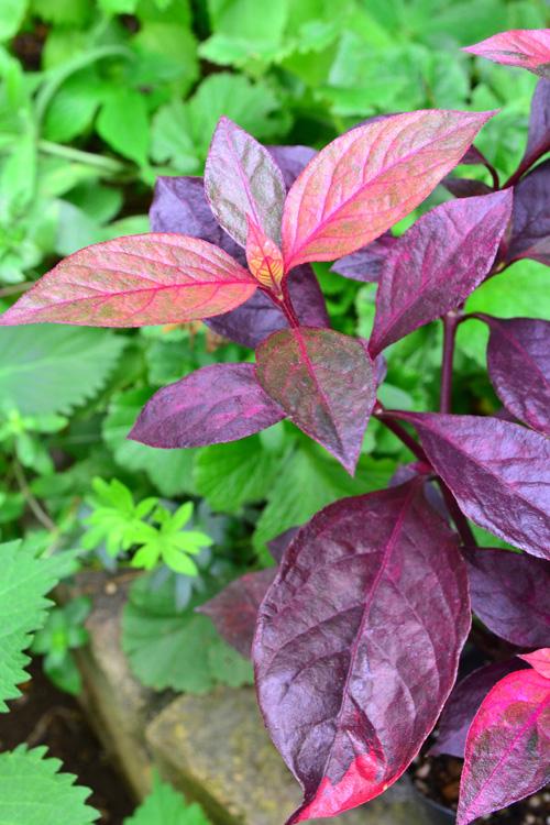 アルテルナンテラ・レッドフラッシュ  秋の紅葉がとても美しいです。