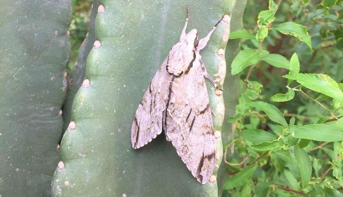 シモフリスズメガの成虫。松の幹などに止まっていると擬態で見えなくなるような柄です。