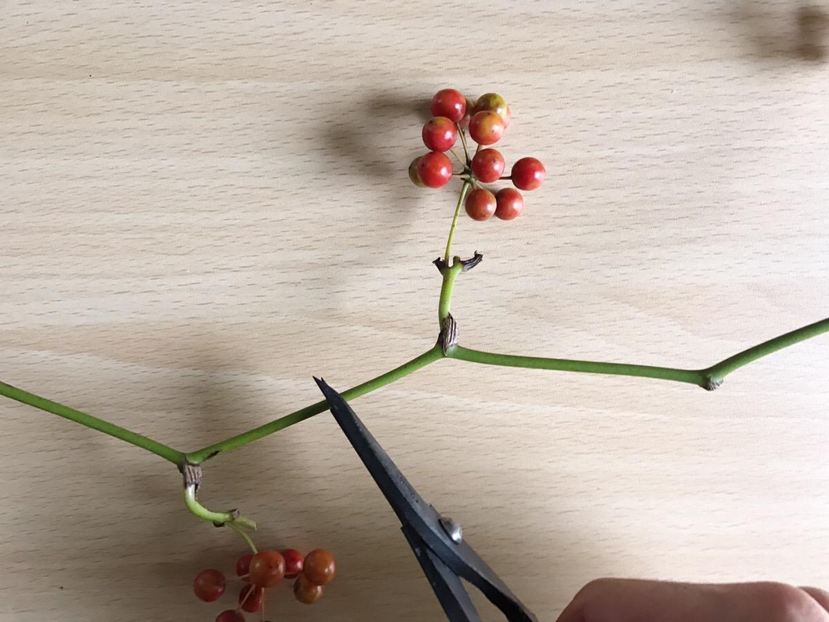 作り方は簡単。リース台にうまくサンキライを挿し込んでいくだけ。