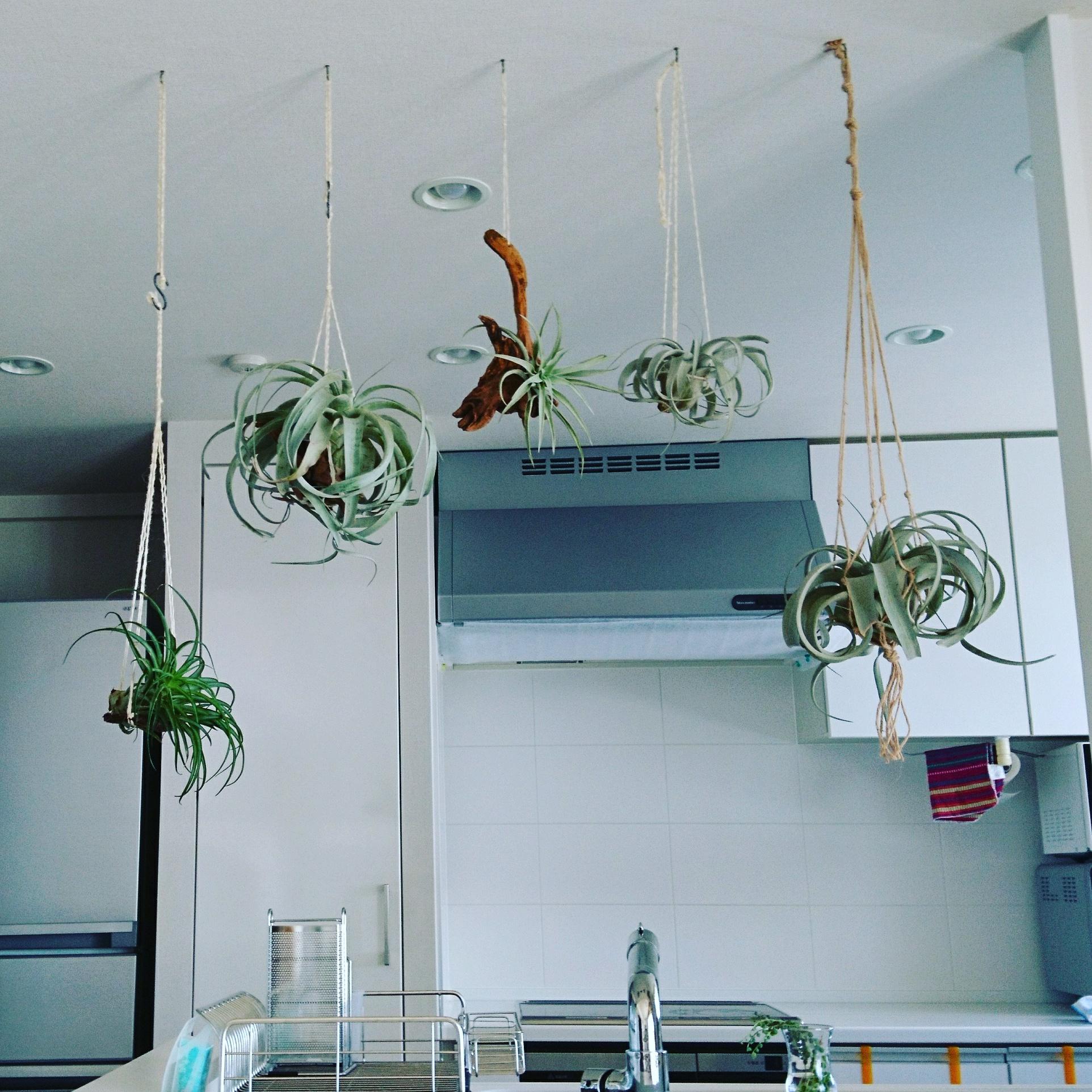 ハンギングで飾る!キッチンのグリーンコーディネート エアプランツ(ティランジア)がぶら下がっている姿は、見ていても楽しい気分に。 @tamurafumieさん提供