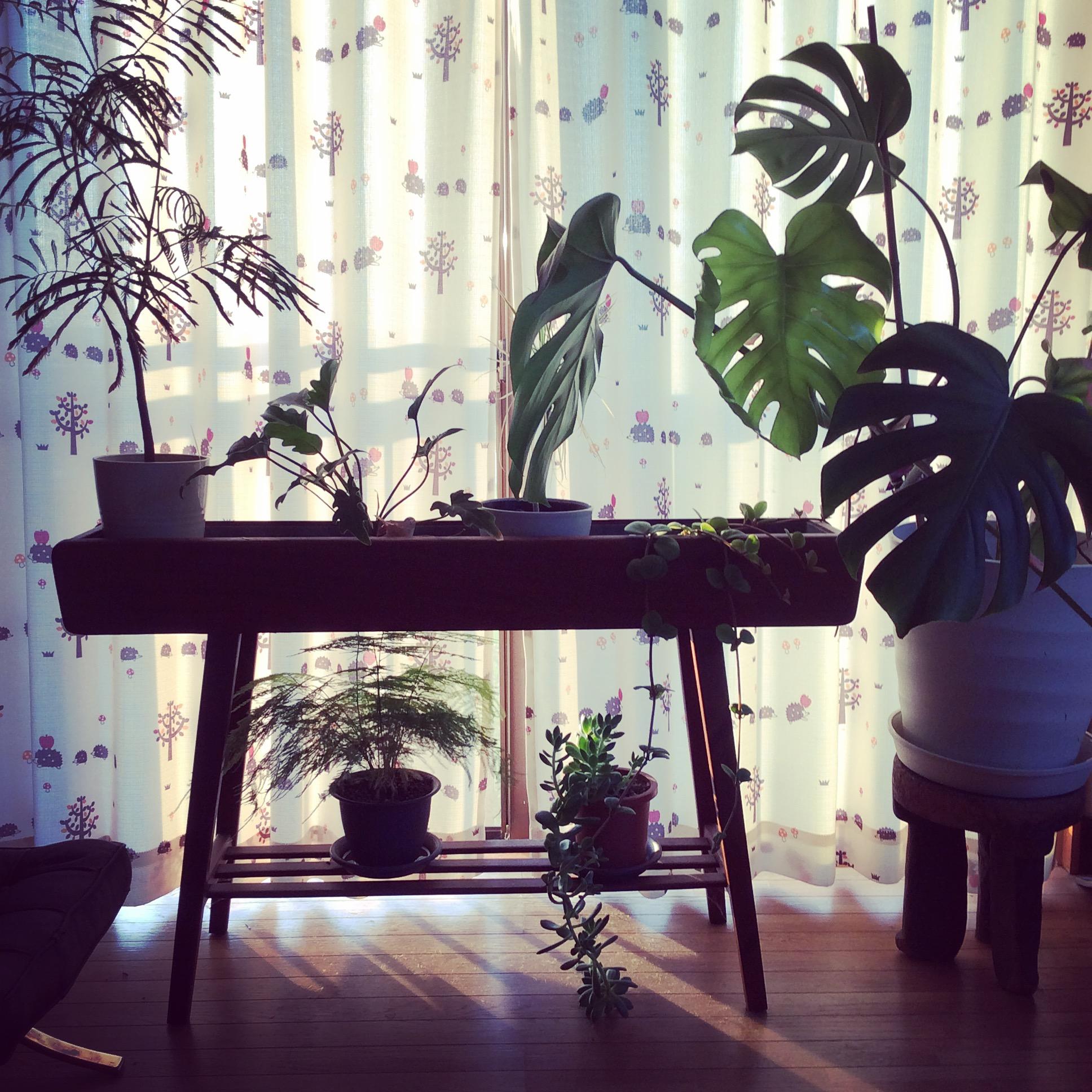 おしゃれな植物棚に、きれいに観葉植物たちが並べられていて、とてもすてきな空間。 @makikonivyさん提供