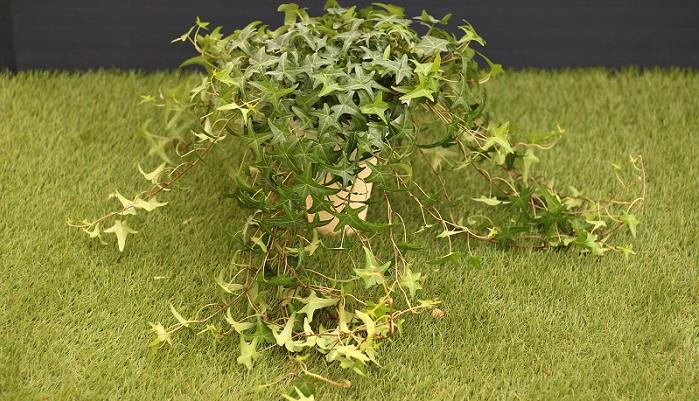 観葉植物としても人気のアイビーは地植えにすると、より丈夫に育ちます。常緑なのも魅力的です。品種によっては零下になると紅葉することもあります。アイビーは品種がたくさんあるので、置く場所や家の雰囲気によって選びましょう。ただ、根が家の外壁などまで達してしまうと、跡が残ってしまい落ちませんので、フェンスと外壁が近い場合は気を付けましょう。関東より南の地域では成長も早いため、管理が難しいので注意しましょう。