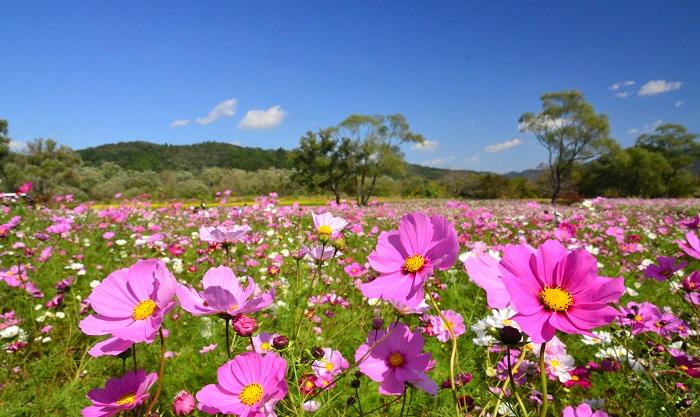 みちのく公園の毎年恒例の秋イベント「COKOフェスタ2017」ではコスモス畑やだんだん畑に植えられたコキアの風景を楽しむことができます。コスモスは蔵王連峰を望む花畑(総面積約22,000㎡)を中心に、ピンク系のコスモス8品種110万本、キバナコスモス2品種40万本。1万株のコキアは10月中旬頃に赤く紅葉します。
