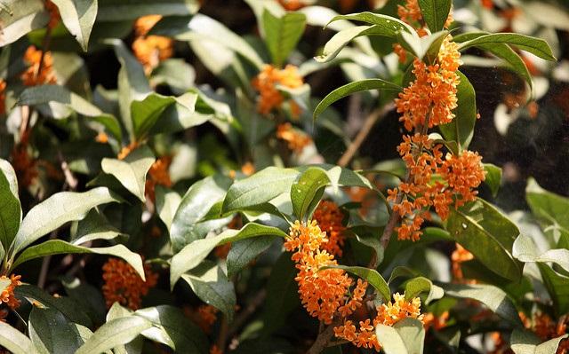 秋の訪れを告げるキンモクセイ(金木犀)。  キンモクセイ(金木犀)は生け垣や記念樹、鉢植えなどに幅広く利用されています。風水の考えでは金運を招く木とされており、庭植えとしても人気です。芳香剤としても、強い香りを放つ花が特長的です。  キンモクセイ(金木犀)は遠くまで香りが届くことから古くは「千里香」とも呼ばれていました。オレンジ色の小花をいっぱいにつけた姿は、日差しを受けると名前の通り金色に輝いて見え、秋の風物詩となっています。食用にもなり原産地・中国では「桂花(グウェイファ)」と呼んで花を砂糖漬けにしたり、リキュールにしています。鹿児島ではキンモクセイ(金木犀)の葉をお茶にします。  キンモクセイ(金木犀)の花は乾燥してしまうと香りが飛んでしまいます。そのためドライポプリなどには向いていません。しかし、出来るだけ長い間キンモクセイ(金木犀)の香りを楽しみたいですよね?  そこでおすすめなのがモイストポプリです。キンモクセイ(金木犀)のモイストポプリの詳しい作り方などは下記の記事をご覧ください♪