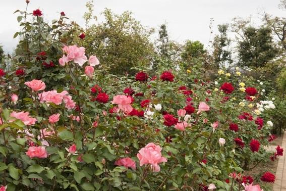 フラワーゾーンの一角は「薔薇の轍(わだち)」と呼ばれ、野生種から近年のバラまで約1,500品種、約2,300株(2017年4月1日現在)が植えられているそうです。関東に規模の大きなバラ園はいくつもありますが、そのなかでもこの品種数はトップクラス。系統ごとに区分けされたバラ園を歩けば、バラの育種家が辿った歴史を垣間見ることができそうですね。
