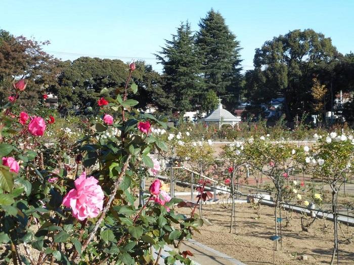 東武トレジャーガーデンのバラ 春の見ごろ 5月中旬~6月上旬ごろ  秋の見ごろ 10月中旬〜11月上旬ごろ