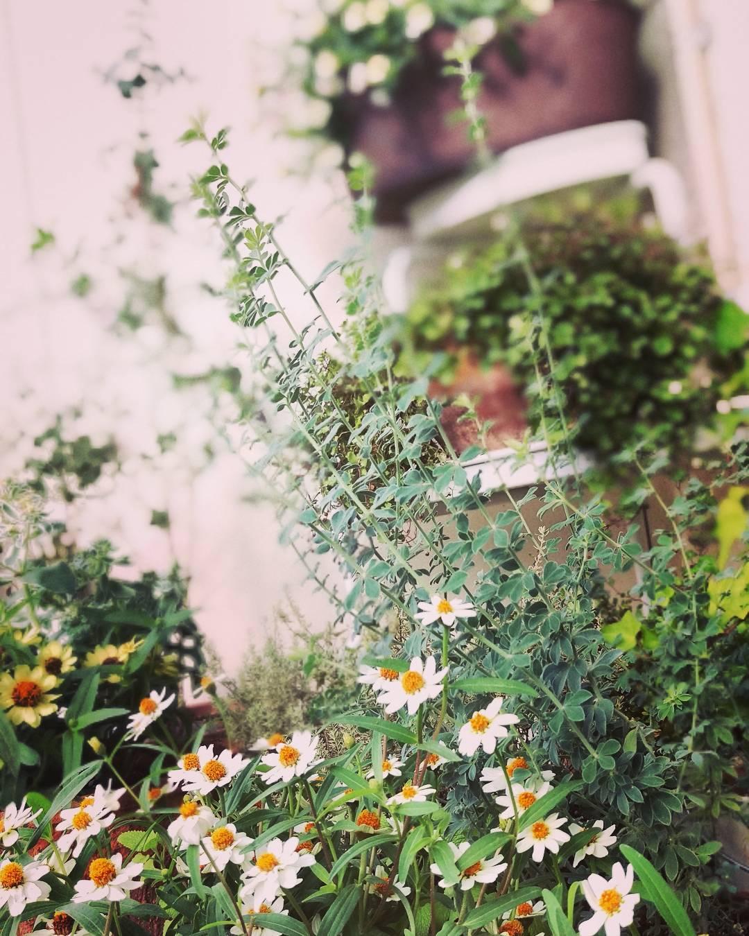 ジニアが咲くにぎやかなベランダ。お花がたくさんあるベランダは、癒されますね。@akemikea33119 さん提供