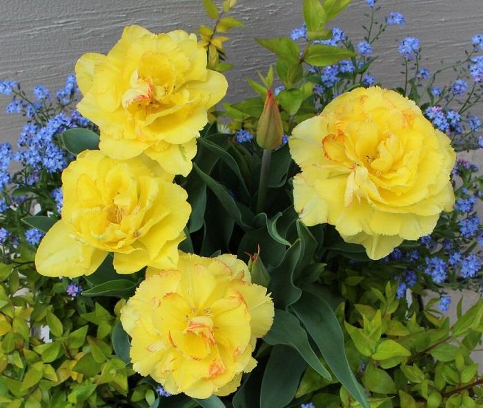 細かなフリンジの重なりのある花びら。咲きはじめは黄色ですが…