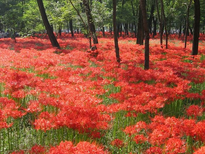 画像提供:日高市  日本最大級の群生500万本の曼珠沙華(彼岸花・ヒガンバナ)が真っ赤な絨毯のように一面に咲き誇る、巾着田の秋の風物詩。清流のせせらぎの中で目にも鮮やかな美しい曼珠沙華を堪能することができます。同日、日高市の特産品も味わうことが可能。自然の美しさと美味しいグルメ、贅沢な時間を過ごしたいですね。