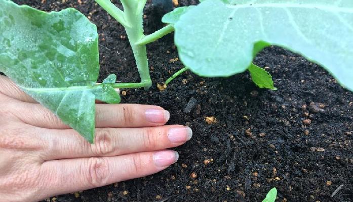 葉の大きさに比べ、茎が少し細いブロッコリー。追肥のタイミングで、株元へ軽く土寄せすることで、倒状を防ぎます。