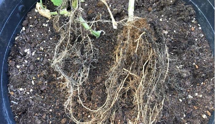抜き取ったキュウリの苗の根をよく見てみると、上の画像のように太い根と細い根があります。どちらの根も表面に凸凹のない、きれいな根をしています。