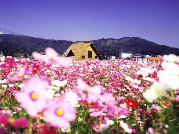 1ヘクタールの敷地に、地域住民の手で育てた赤、白、ピンクのコスモスが咲き乱れます。その数は約100万本。 その花畑の中で開かれる「北房コスモスまつり」では、葡萄や野菜など地元の旬の味やステージでの楽しい催しを楽しむことができます。