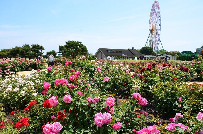 バラ園といえば咲き誇るバラの間をお花と同じ目線で歩くイメージがありますよね。しかし国営ひたち海浜公園にある常陸ローズガーデンはそれだけではありません。晴れ渡る空と広がるバラ園(約120品種3400株)。それをプレジャーガーデン内の観覧車(有料)から眺めることができるスポットなのです。