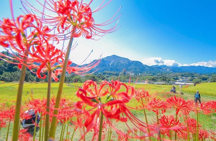 画像提供:横瀬町ブコーさん観光案内所   見どころは武甲山を中心に連なる山々を背景にした絶好のロケーション。お彼岸の時期になると、約5.2haという県内最大級の広さの棚田の畦に朱い彼岸花が咲き誇ります。棚田の風景と、寺坂棚田を守り続ける人たちの、あたたかいおもてなしをお楽しみください。    イベント情報をくわしくみる!      目次に戻る≫     いかがでしたか?  彼岸花の鮮やかな赤は、里山や雑木林など日本の風景によく似合います。どこか懐かしい魅力のある彼岸花。お盆休みにぜひ見にいきたいですね。