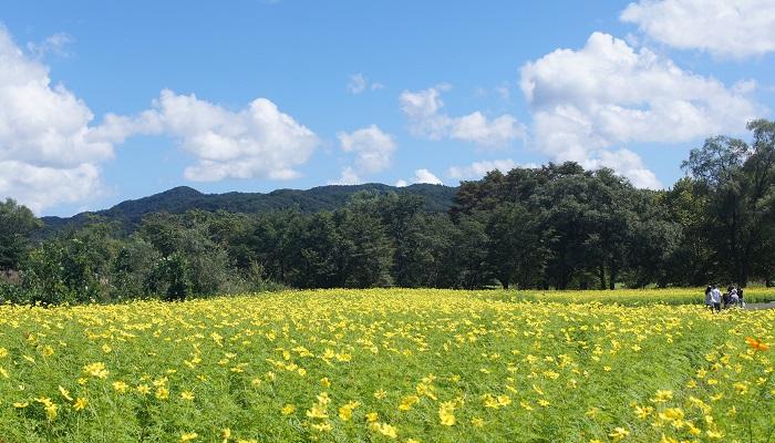 画像提供:国営みちのく杜の湖畔公園   コスモスは蔵王連峰を望む花畑(総面積約22,000㎡)を中心に、ピンク系のコスモス8品種110万本、キバナコスモス2品種40万本。1万株のコキアは10月中旬頃に赤く紅葉します。