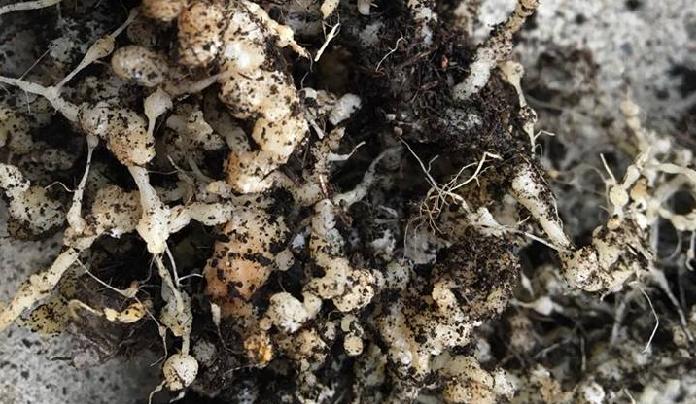 上の画像をご覧ください。根の部分に大小のこぶのようなものが出来ています。  このような根は、ミニトマトやキュウリ、ナスなどのナス科に発生しやすい「ネコブセンチュウ」かもしれません。  ネコブセンチュウとは  土の中に生息する1mm以下のセンチュウで、植物の根の養分を吸います。その被害部分が大小のこぶのような形になります。  センチュウに侵された根は、充分な水分や養分を吸収することができず最後には枯れてしまいます。  センチュウの大きさが1mm以下のため、肉眼で早期に発見することは難しいため、このように作物を抜き取るタイミングに、しっかりとセンチュウの存在を確認する必要があります。
