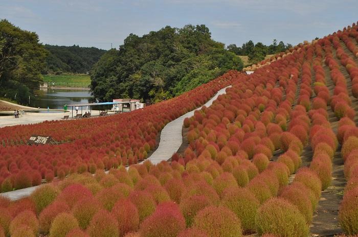画像提供:東京ドイツ村  千葉県袖ケ浦市にある東京ドイツ村。バラや芝桜、ルドベキアなどいろいろなお花を見られるスポットです。コキアは2万株が植えられていて、緑の状態では7月下旬から、紅葉は9月下旬から楽しむことができます。