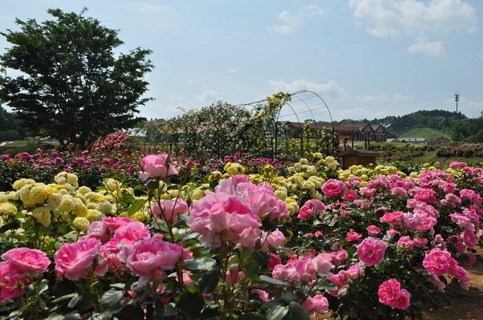 バラ園では、つるバラのアーチ、80品種のドイツのバラコーナーをはじめ200品種5,000株のバラがローズガーデンに咲き誇ります。アンダルシアン、ミスターリンカーンなど見ごたえのあるバラをお楽しみください。