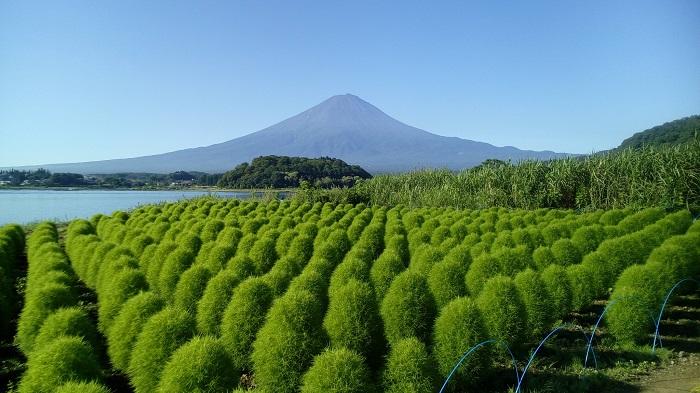 画像提供:河口湖自然生活館  大石公園の花街道から望むコキアと河口湖と富士山が、おすすめのビューポイントです。    ▼アクセス情報などはこちら!      目次に戻る≫