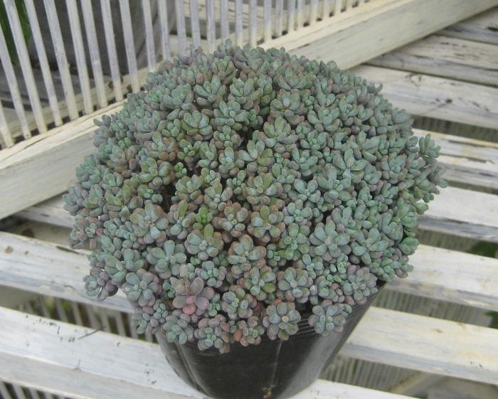 葉の粒が大きく、寒さと日によく当たると紫色に色づきます。