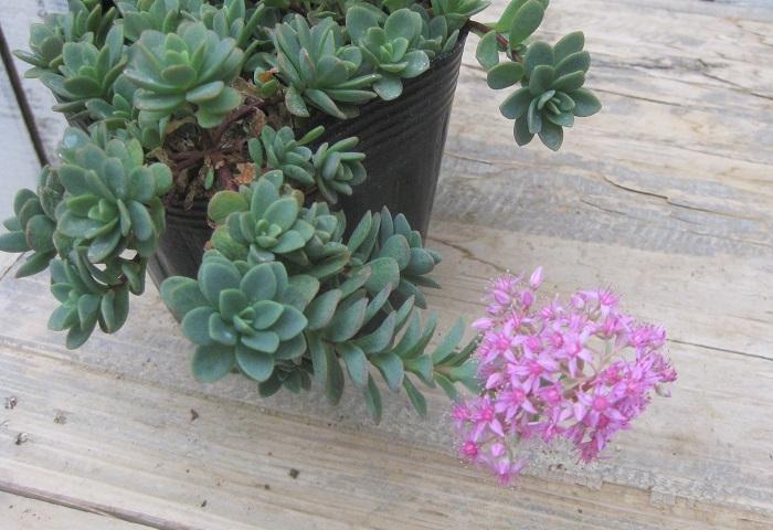 このようなピンク色の繊細な花が咲きます。