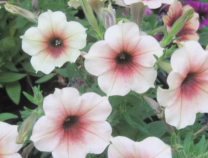 力を入れている花は、ペチュニアです。個人の育種家さんとタッグを組んで和ペチュニアを生み出しています。  代表作は「あずき」です。5年ほど前から取り組んでいて、4月~5月頃に販売しています。  アンティーク調の寄せ植えや、少し大人っぽさを出すハンギングバスケットを作る時のアイテムとしても大変人気があります。