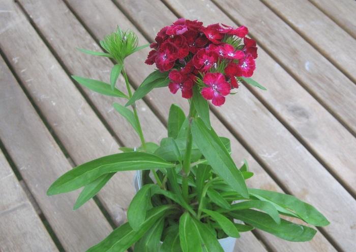美女なでしこ ダッシュクリムソン  ナデシコ科 耐寒性多年草 開花期:4~11月 四季咲き  春から初冬にかけて、かわいい手毬のような花房が咲きます。 日当たりの良い場所を好みます。過湿に弱いので水やりは土がかわいたらたっぷりあげましょう。