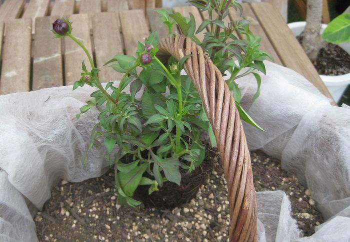苗の高さを確認しながら、鉢底石の上に肥料入り培養土を入れていきます。植えた後に水やりをする際、水があふれ出ないためのスペース(ウォータースペース)をバスケットの縁から1~1.5cmほどの深さを確保できるように土の高さを決めます。