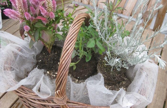 苗をポットからはずし、肩(株元)の部分に枯葉などがある場合は取り除いて、根が回っている苗はやさしく根をくずして植えます。 後ろ側の、チョコレートコスモス、ケイトウ、エレモフィラを順に植えていきます。 チョコレートコスモスは、かごの取っ手の両サイドから出てくるように配置しました。