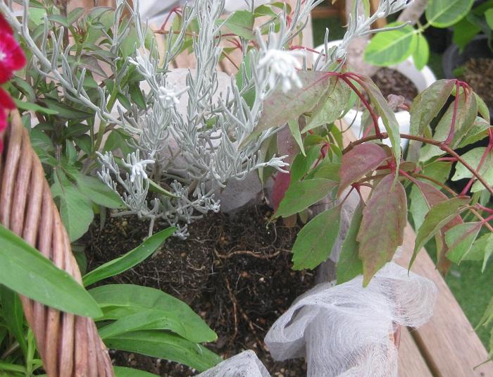 ヒメヅタを、エレモフィラの横に少し外側に倒し気味に植えます。ヒメヅタのつるをどのようにアレンジするかを考えて向きを決めます。