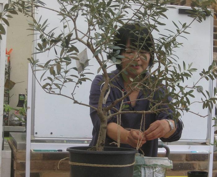 こんなサイズのオリーブも、同じように樹形づくりをして剪定し、枝数を増やすことができるそうです。