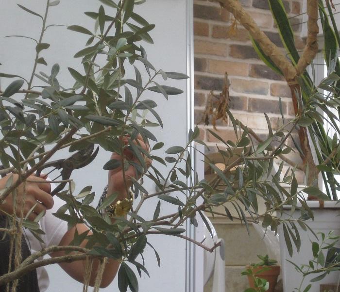 大きいサイズのオリーブの剪定も、希望者が挑戦しました。  岡井先生からお話がありました。  実がつく、つかないは剪定しだい。木を若返らせるには強剪定が効果的です。光も風も良く通る、小鳥がすり抜けられるくらいの枝ぶりを目指しましょう。  オリーブは、その年の春から初夏に伸びた新梢に翌年花を咲かせて実をつけます。そのため、剪定の時になるべく新梢を残しつつ混み合ったところを中心に剪定すことが大切です。  切る枝は、重なり合っている枝、下向きの枝、内側向きの枝、平行に出ている枝、ひこばえ(根元から脇芽のように出だ枝)は、必ず切りましょう。  花が咲かない。実がならないで悩んでいるのなら、失敗を恐れずに、剪定にチャレンジしてみてくださいね。    オリーブの葉が黄色い時には  秋冬に葉が何枚か黄色い場合は、常緑樹の葉の世代交代なので気にしなくて大丈夫だそうです。  葉の先が黄色い場合は、微量要素が足りない場合があります。  すべての葉が黄色い場合は、根に問題がありそうなので植え替えてみましょう。土の中にコガネムシの幼虫がたくさん住んで根を食べていることもあります。