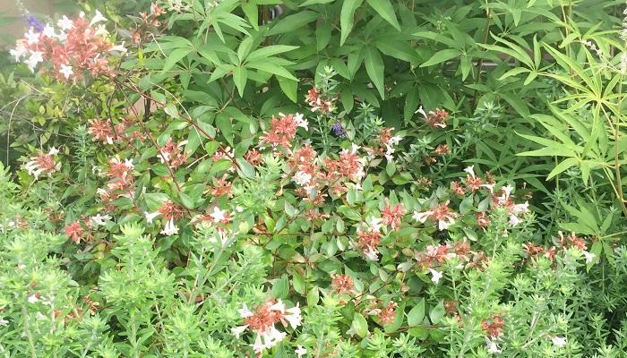 白い花が咲いているのがアベリア。ピンクの花や葉がツートンカラーの品種もあります。
