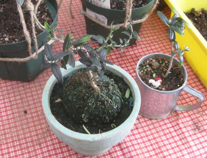 完熟したオリーブの実の中から種を取り出し、外殻に少し切れ目を入れてから土に植えて欠かさずにお水をあげると、1、2年して忘れたころに芽が出るそうです。  種が硬いため発芽率があまり良くないですし、成長するにもとても時間がかかりますが、種をまいて成長を見守る楽しみは格別だそうです。オリーブを小さく楽しむ方法を教えていただきました。