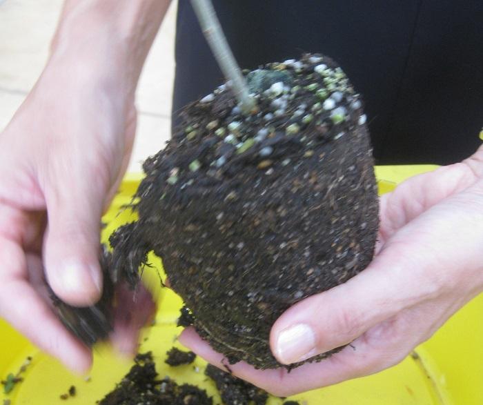 苗をポットからはずして、苗の肩の部分の土や枯れ葉などを取り、根を少し崩します。