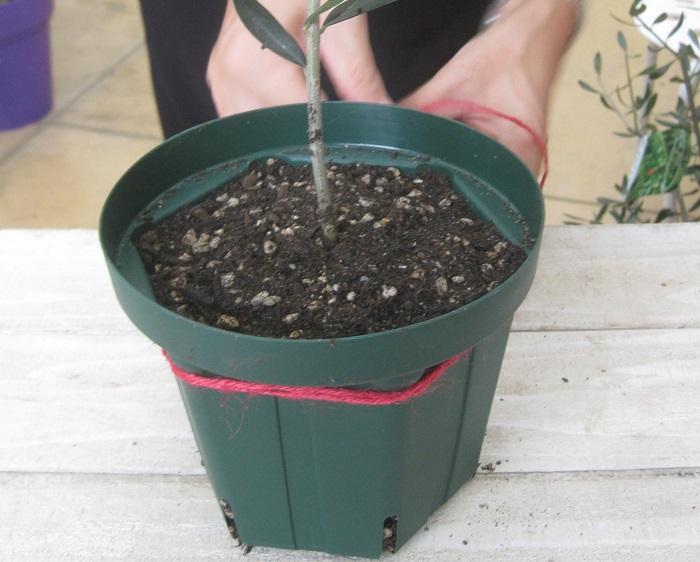 鉢の周りに二重に麻紐を巻き付けてしっかりと結びます。  写真に写っているオリーブの幹の下の方についている葉は、取り除きます。