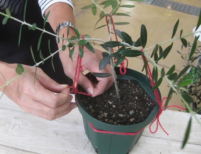 3本の枝を均等に広げて麻紐をかけて引っ張り、鉢に巻いた麻紐に結び付けます。