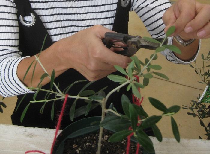 目立って長く伸びている枝、重なっている枝、下向きや内側向きの枝などのいらない枝をカットします。  特に切る必要のない枝も先の方を少しでもカットしておくと、枝数が増えて花も実もつきやすくなるそうです。