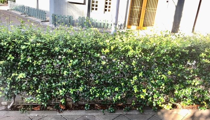 5~6月の初夏に一重の清楚な花をたくさん咲かせるテイカカズラは目隠しにぴったりです。香りも楽しめる花なので、夏の開花時期が楽しみになりますよ。決めた形に仕立てるのでなければ、茎が伸びてきたら邪魔になる部分だけ剪定すればよいので手がかかりません。剪定すると出てくる白濁した樹液は、肌の弱い方はかぶれることがありますので、手袋をして作業するようにしましょう。病害虫にも強く、肥料も特に不要です。グランドカバーで人気のハツユキカズラはテイカカズラの園芸品種です。
