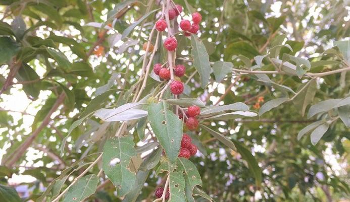 ロシアンオリーブも虫が付きにくいのですが、成長が早く、枝が暴れる樹木ではありますが根が浅めで、強風で傾倒してしまうことがありますので植え付け場所は考えましょう。