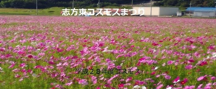 兵庫県加古市志方町では、休耕田を利用したコスモス畑が見ごろを迎えています。町内7か所に分散したコスモス畑は、総面積およそ18.9ha。野菜や米など農産物及び加工品の販売、飲みもの・枝豆・焼き芋の販売、収穫体験などのイベントも開催されます。