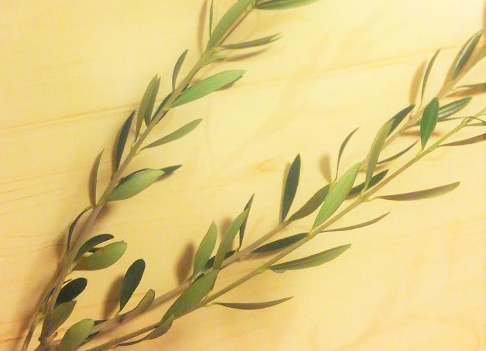 オリーブの緑枝挿しの成功率はあまり高くないそうですが、オリーブセミナーでお土産にいただいた剪定枝を使って、ダメもとでチャレンジしてみました。緑枝挿しは6月に行うと成功率が高いそうですよ。  ルッカ、ネバディロ ブランコ、マンザニロ、シプレッシーノなどの萌芽力が強い品種を選ぶことも大事だそうです。