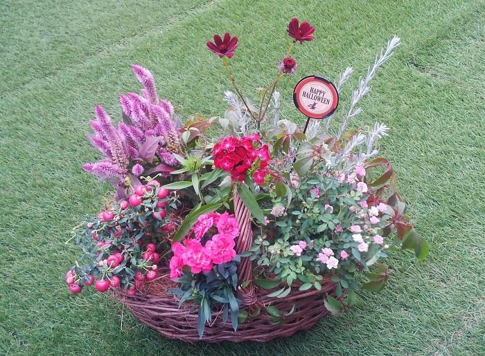 今月のテーマは「秋を感じる」  夏の間開花を休んでいた四季咲きのミニバラ、秋の実りハッピーベリー、秋にしっとり咲くダイアンサス(ナデシコ)、チョコレート色のコスモス、毛糸のような暖か味を感じるケイトウ、白くてさわり心地がふわっとしているエレモフィラ、紅葉するつる性の葉を使って、バスケットの中に秋を思いきり表現します。  植え付け後は、苗がそれぞれに成長していきます。その成長の向きやボリュームをイメージしながら、どの向きに植えたら一番美しい姿になるか、苗の良さを引き出すことができるかを考えながら位置を決めて植えつけましょう。
