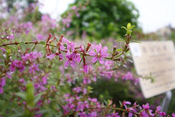 違法な植物でなくとも、薬用植物のなかには美しい花を咲かせる植物もたくさんあります。8~10月の花や冬の実がなる樹木などがおすすめ。